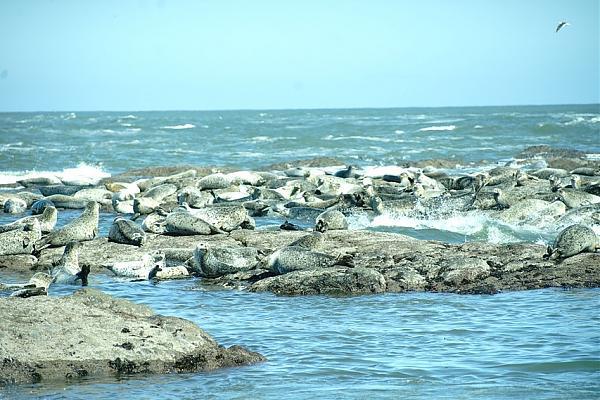 Большое лежбище нерп на западном берегу острова.